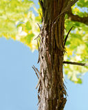 Bark of a grape vine Royalty Free Stock Images