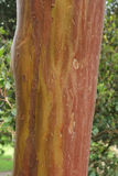 Bark of Greek strawberry tree & x28;Arbutus andrachne& x29;. Detail of the trunk of Greek strawberry tree & x28;Arbutus andrachne& x29;, taken in spring Stock Photo