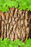 Bark and green maple leaves Stock Images