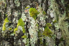 Bark with green moss Stock Photos