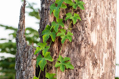Bark and Green. Old cracked mossy tree bark texture with green plant Stock Image