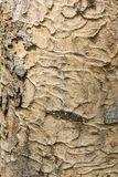 Bark hard wood texture Stock Image