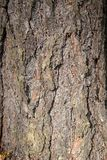 Bark on a healthy pine trunk. Pien tree growing in the forest ar. Ea. Season of the autumn royalty free stock photos