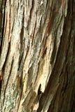 Bark of Japanese cedar. In Japan Stock Photo