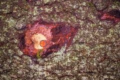 Bark with knothole. Bark with red knothole, closeup Stock Photography