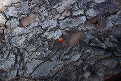 The bark is Ladybird tree texture Stock Photography
