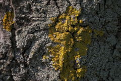 Bark and lichen Royalty Free Stock Images