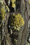 Bark with Lichen Royalty Free Stock Photo