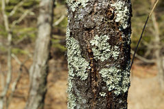 Bark and the lichen Royalty Free Stock Photography