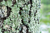 Bark with lichen texture Royalty Free Stock Photos
