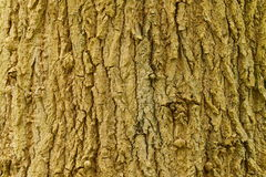 Bark of a lime tree Royalty Free Stock Image
