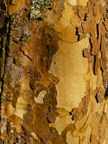 Bark, London Plane Tree, background Royalty Free Stock Image