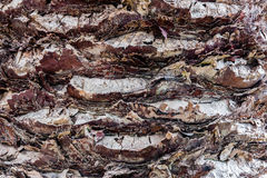 Bark of Madeira palmtree with stubs of removed leafs. Stock Photo
