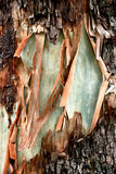 Bark Map. A scar in the bark of an Australian eucalyptus tree appears to show a crude map of Australia Stock Photo