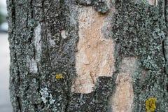 Bark of a maple tree Royalty Free Stock Photos