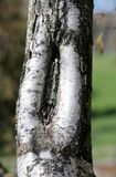Bark of a mature birch with the shape like a vagina. Bark of a mature birch with the shape that resembles a female vagina Stock Photos
