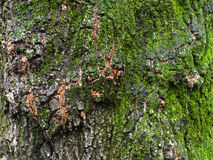 Bark with moss Stock Image