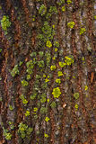 Bark with moss and fungus as background texture Stock Photography