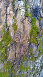Bark with moss. Interesting background Royalty Free Stock Photography