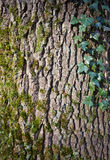 Bark with moss and ivy Stock Photography