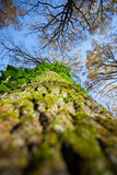 Bark with moss and ivy Royalty Free Stock Photography