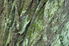 Bark with moss and lichen in shades of green. Bark with moss and lichen in different shades of green stock photo