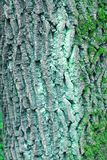 Bark moss lichen textured bark tree. Background texture of tree bark, forest Stock Photo