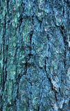 Bark moss lichen textured bark tree. Background texture of tree bark, forest Royalty Free Stock Images