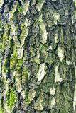 Bark moss lichen textured bark tree. Background texture of tree bark, forest Stock Images
