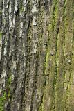 Bark moss lichen textured bark tree. Background texture of tree bark, forest Stock Photography