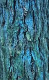 Bark moss lichen textured bark tree. Background texture of tree bark, forest Royalty Free Stock Photography