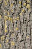 Bark, moss, lichen, textured bark, tree bark background. Background bark of an old tree. Texture bark of an old tree with lichen. Moss and lichen on bark of an Stock Images