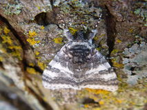 Bark Moth Nature Photograph Outdoor Close Up. Close up of a moth on bark nature photograph Stock Images