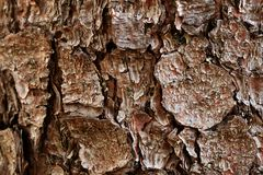 Bark of the Norway spruce Royalty Free Stock Image