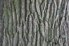 Bark of oak. Background of bark of old oak royalty free stock image