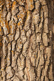 Bark of oak Stock Photography