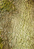 Bark of an oak Stock Photo
