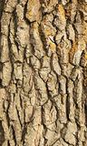 Bark of oak Royalty Free Stock Image