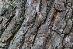Bark oak natural foundation weathered surface part of a large tree rustic design deep streaks stock images
