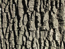 Bark oak structure on a bright day Royalty Free Stock Photo
