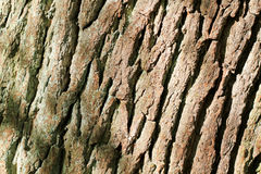 Bark on oak tree Stock Photography