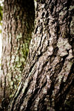 Bark Oak Tree royalty free stock image