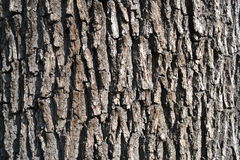 Bark of oak tree Stock Photo
