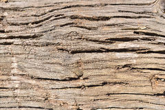 Bark of an oak tree Stock Photography