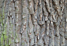 Bark of oak tree Royalty Free Stock Photo