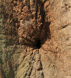 Bark of oak tree. The bark of an old oak tree as wrinkles on the trunk Royalty Free Stock Photo