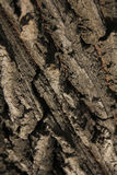 Bark of oak tree. The bark of an old oak tree as wrinkles on the trunk Royalty Free Stock Images