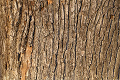 Bark of the oak tree Stock Images