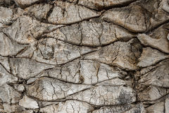 Free Bark Of A Palm Tree Royalty Free Stock Images - 62582519