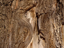 Free Bark Of An Old Elm Royalty Free Stock Photos - 22488968